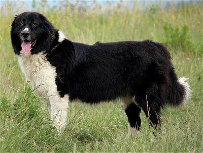 Болгарская овчарка(каракачанская собака)