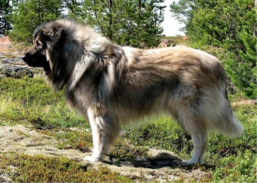 Шарпланинская овчаркаили иллирийская овчарка или югославская овчарка