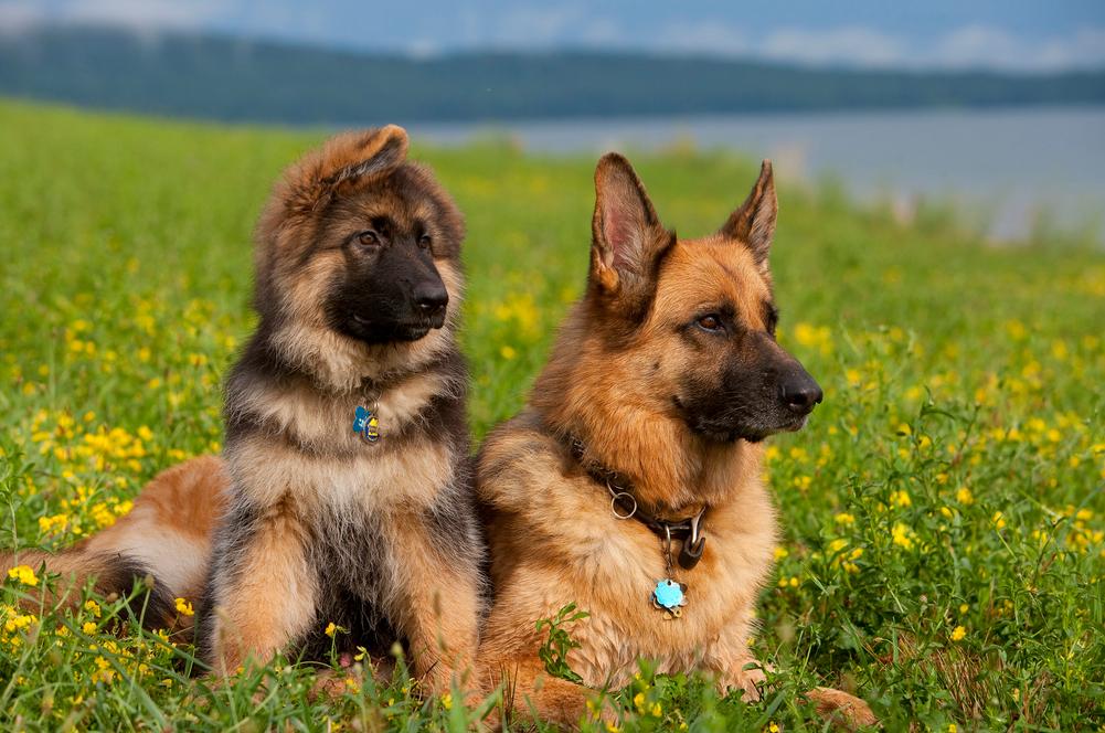 Немецкие овчарки. Мама с щенком