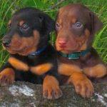 Доберман фото, щенки