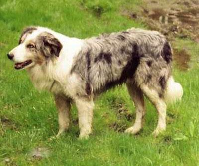 Уэльская овчарка