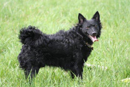 Муди (венгерская овчарка)
