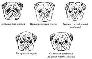 Разновидности головы мопса