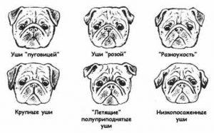Разновидности ушей у мопсов