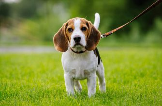 Бигль — гончая порода собак, стандврты, характеристики, фото.