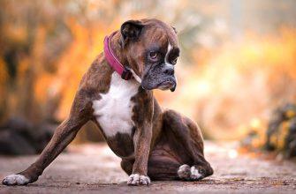 Боксер — порода собак, описание, стандарты, фото, уход.