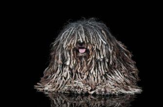 Пули — порода собак, стандарты, описание, характер, фото.