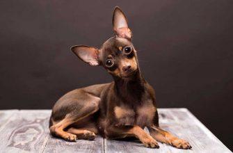 Русский той — порода собак, стандарты, характеристики, фото.