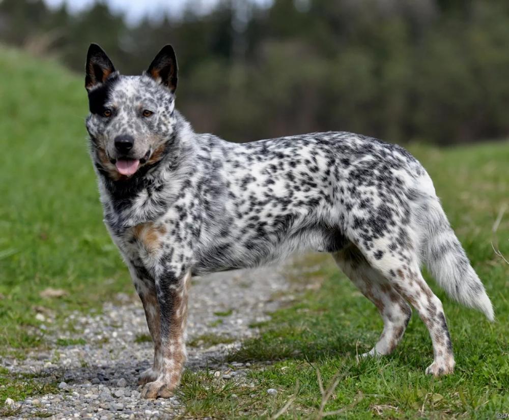 Австралийская пастушья - топ 10 самых умных и послушных собак.