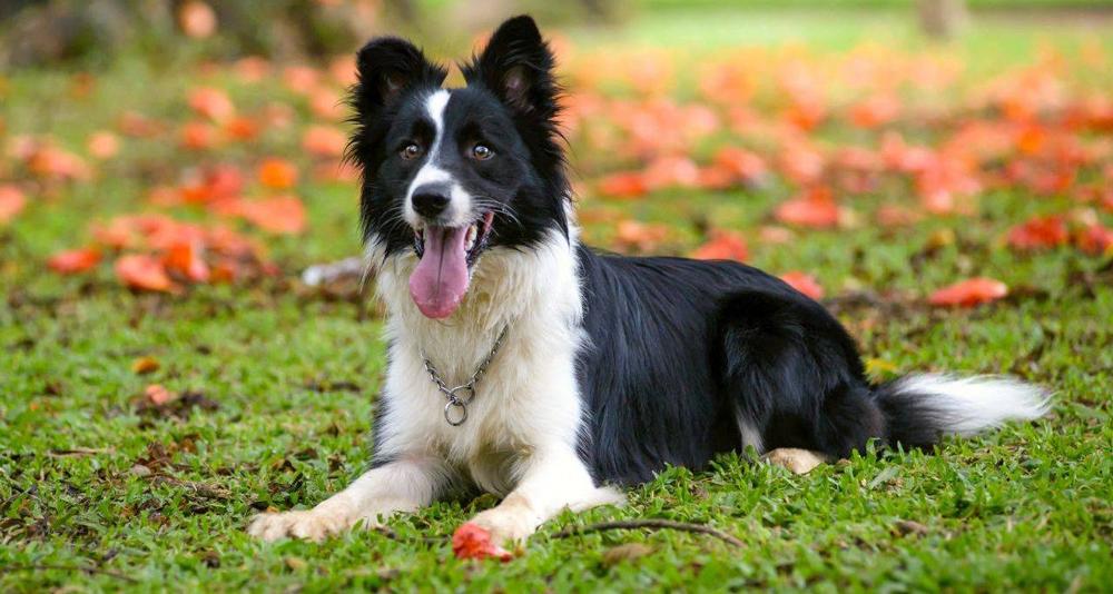 Порода Бордер-Колли - собака №1 по интеллекту.