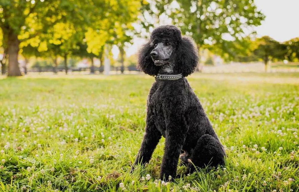 Собака №2 по интеллекту - Пудель.