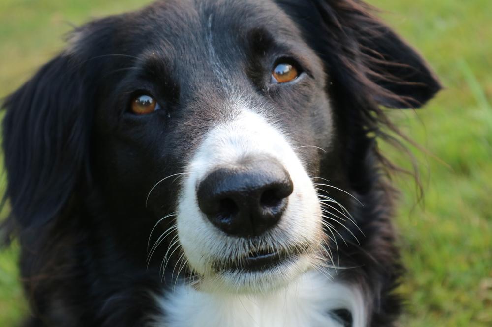Рейтинг собак по интеллекту или самые умные породы собак.