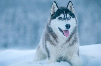 Сибирский хаски — стандарты, характер, фото, уход за собакой .