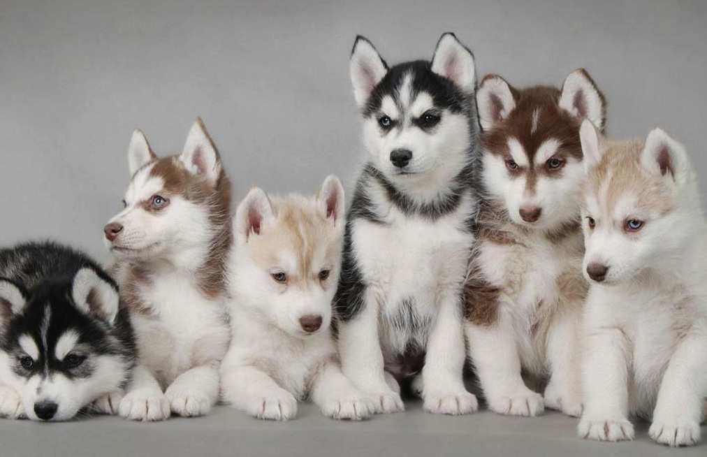 Сибирский хаски - щенки