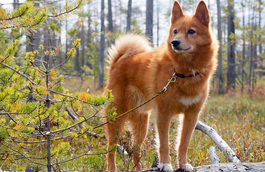 Карело-финская лайка.