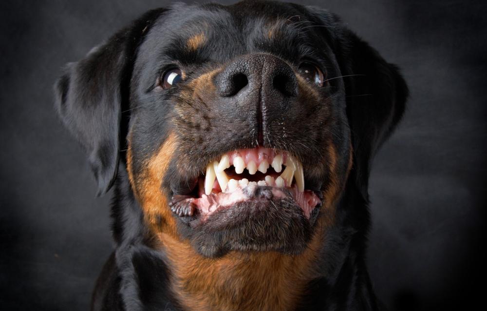 Ротвейлер - порода собак