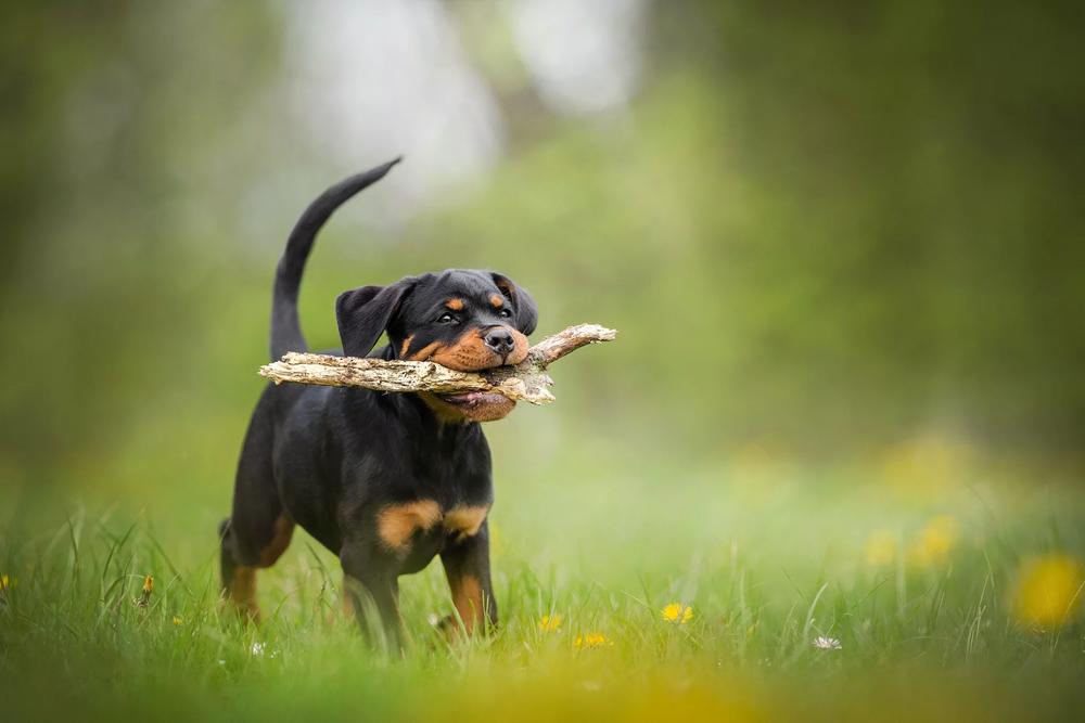Веселый щенок ротвейлера.