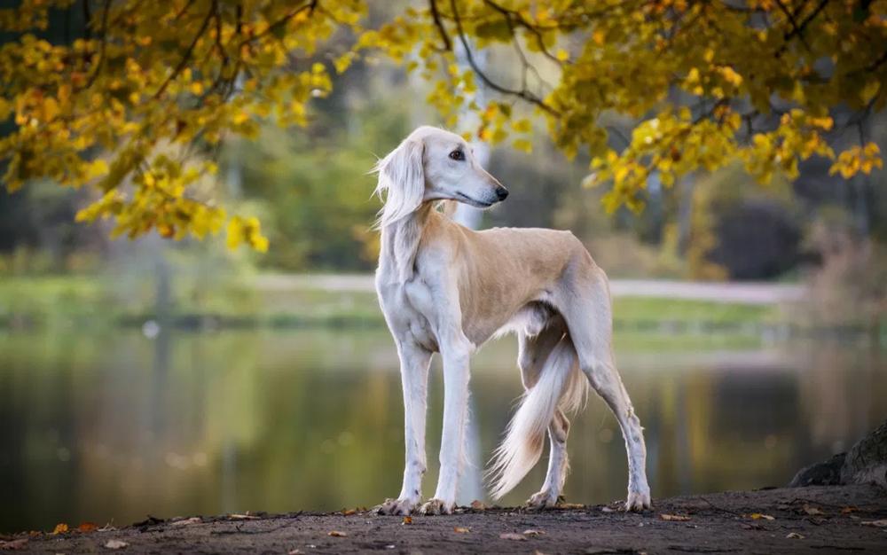 Салюки - порода собак.