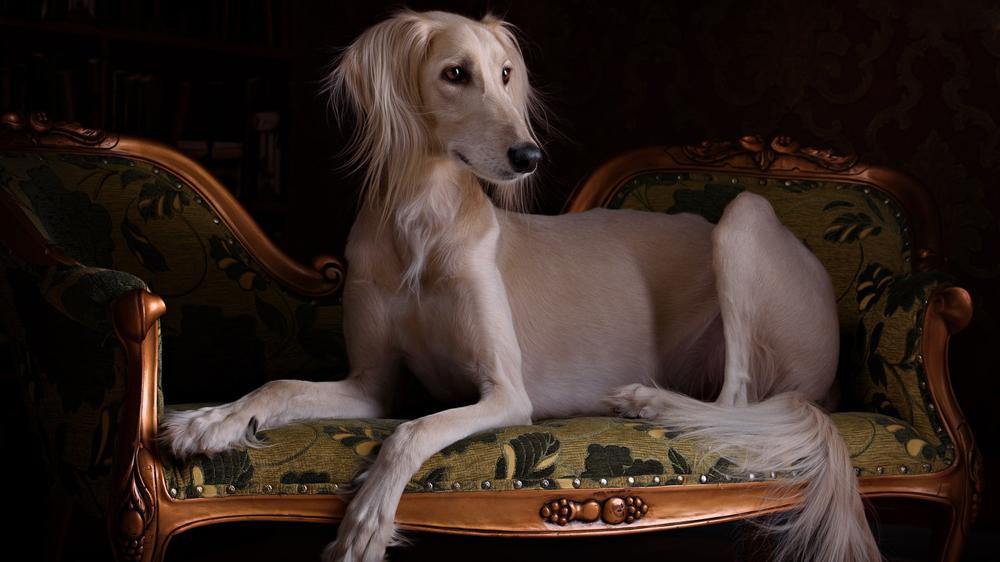 Порода собак Салюки.