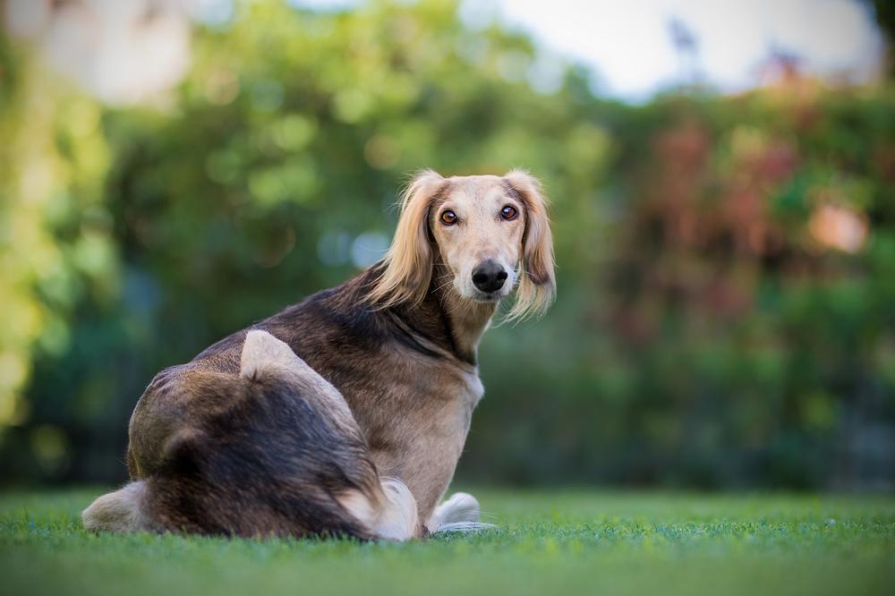 Что такое салюки, порода собак для богатых шейхоф, описание породы, характеристики, разновидности, воспитание и уход.