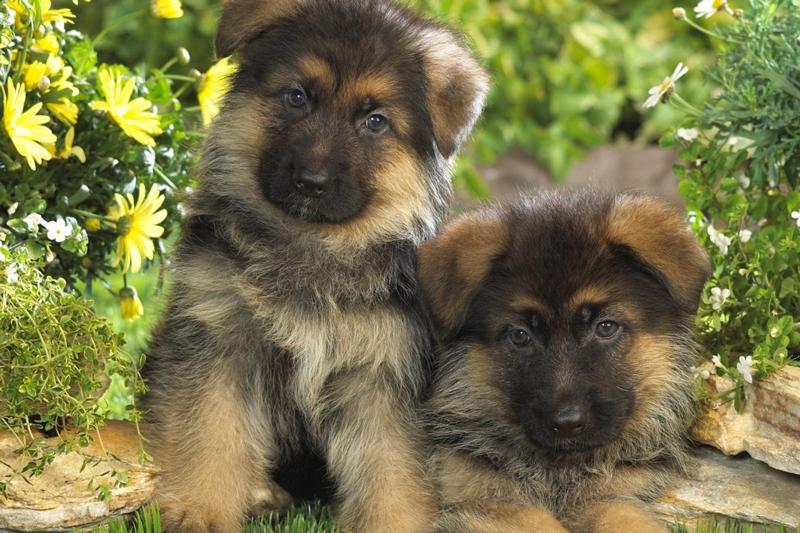 Имена собак мальчиков немецкой овчарки.