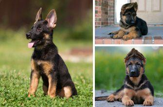 Имена собак мальчиков - немецкая овчарка, правила, много примеров.