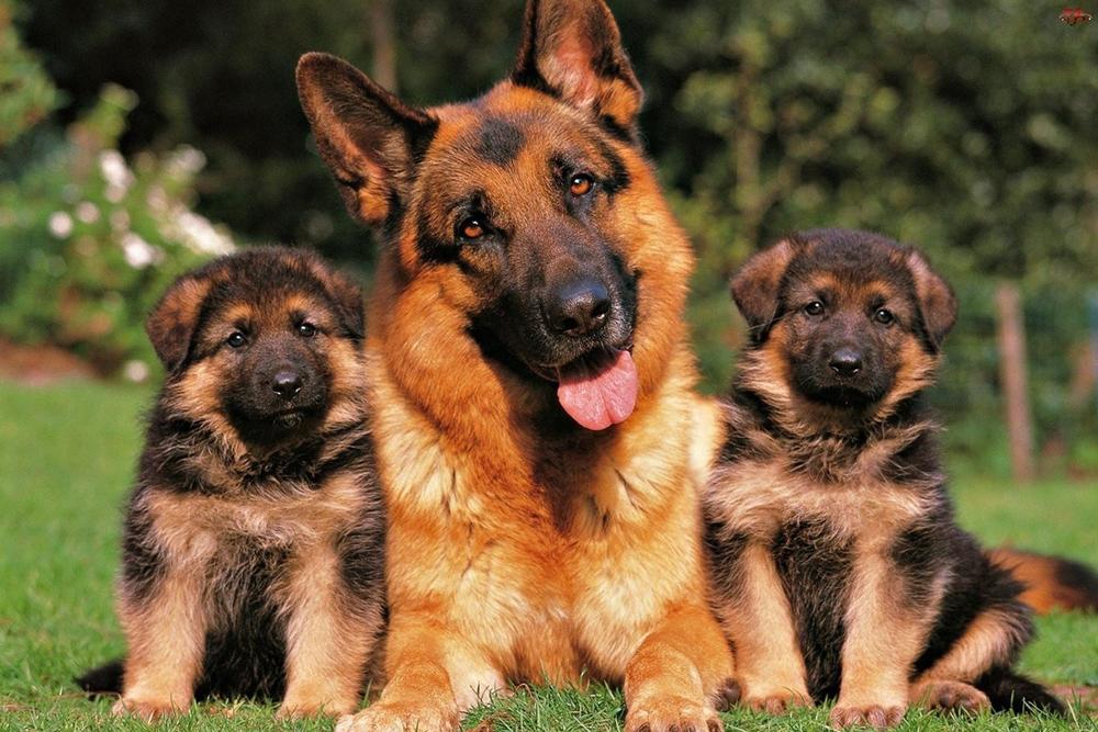 Клички для щенка мальчика немецкой овчарки.
