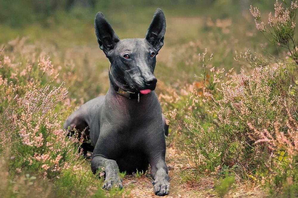 Мексиканская голая собака или ксолоитцкуинтли - описание породы.