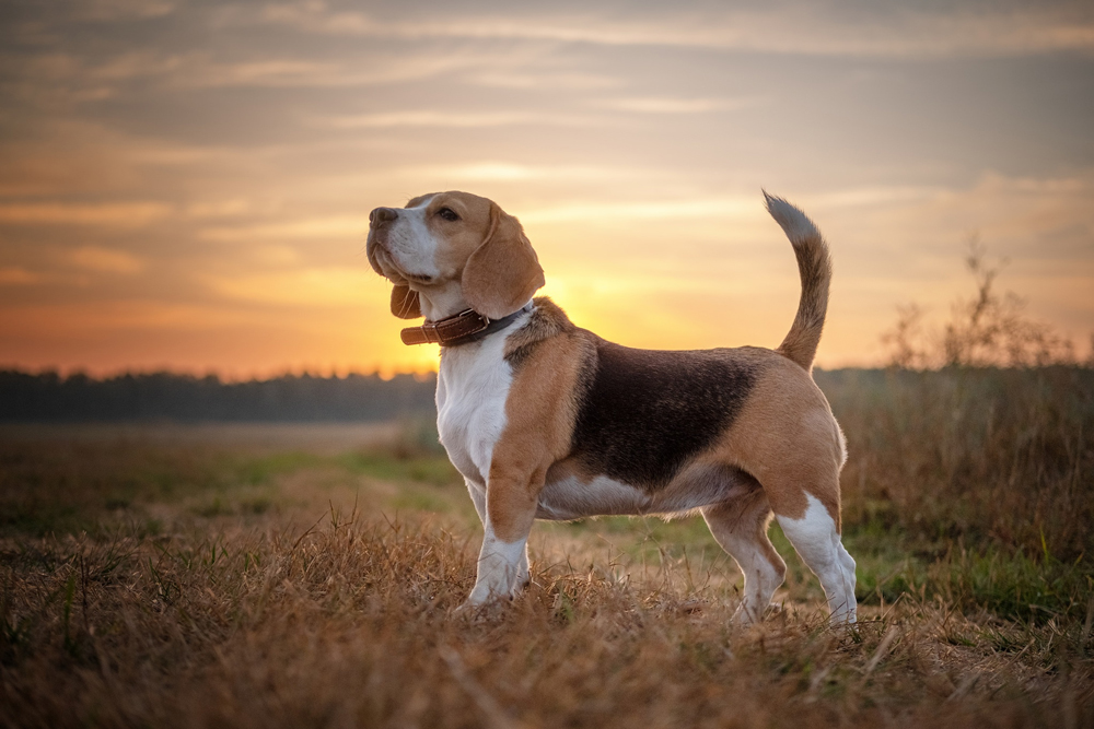 Маленький пес Бигль.
