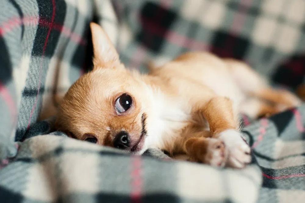 Маленькие породы собак - 35 маленьких собак с описанием и фото.