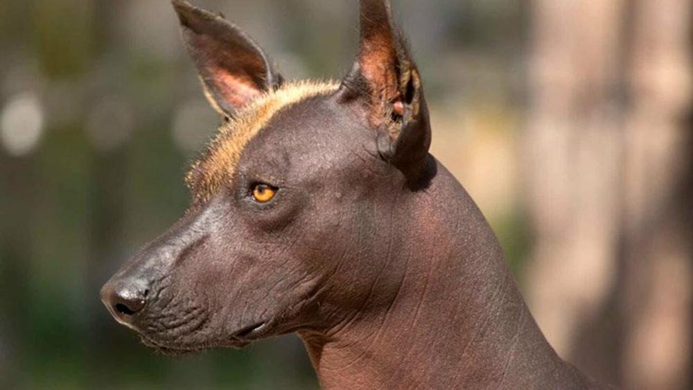 Собака породы Ксолоитцкуинтли.