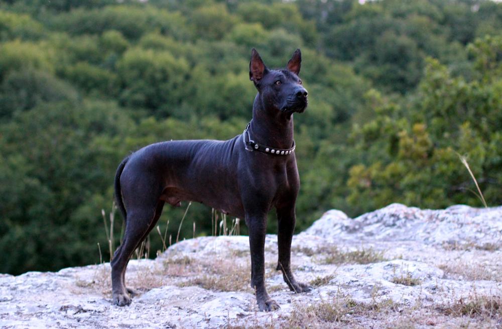 Ксолоитцкуинтли – порода собак.