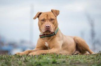 Опасные породы собак - Топ 10 самых опасных пород в мире.
