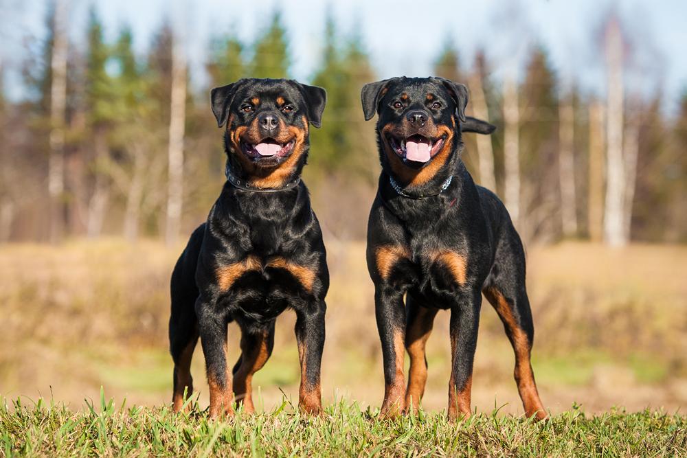 Опасные породы собак - Ротвейлер