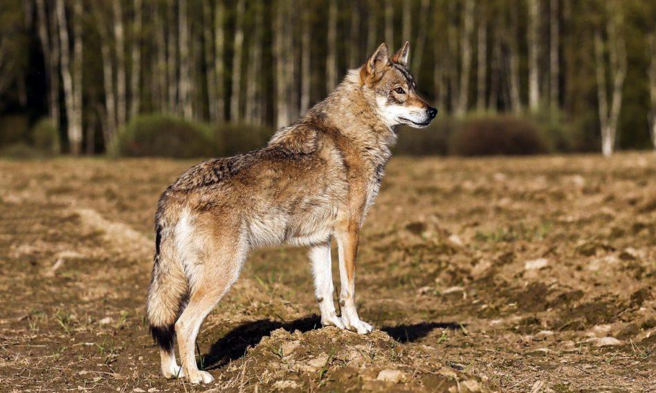 Волкособ.