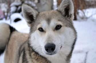Лайка собака - все о породе, стандарты, характеристики, уход.
