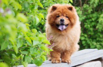 Чау-чау - порода собак, описание, стандарты, характеристика, фото.