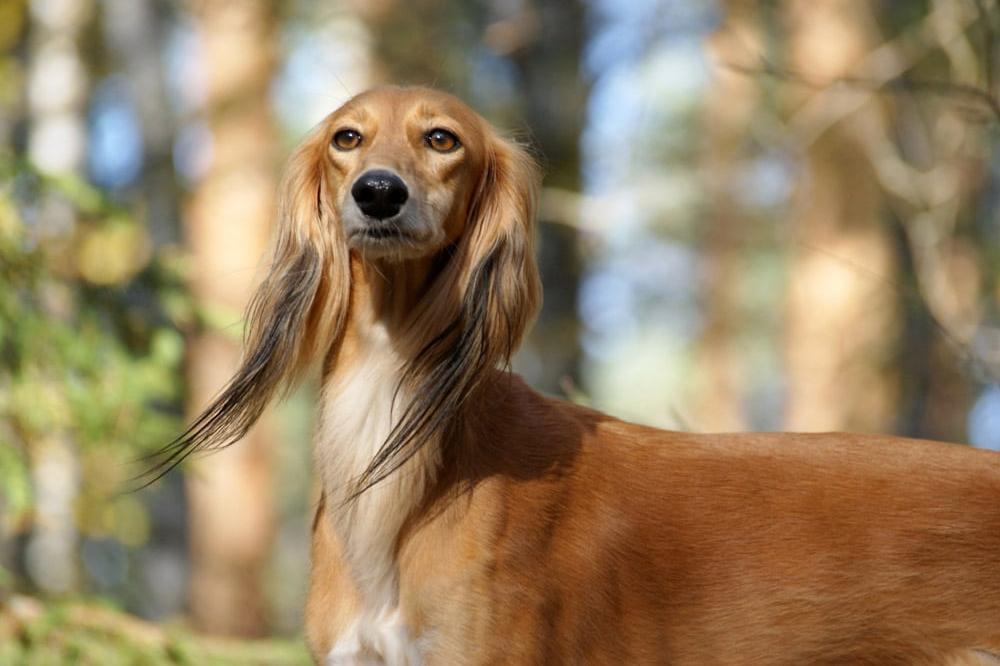 Салюки - порода собак, описание, характеристики, фотографии.