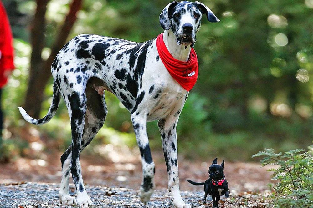 Самая тяжелая собака в мире - топ-10 пород с описанием и фото.