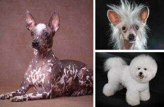 Собаки которые не линяют - породы для аллергиков и не только.