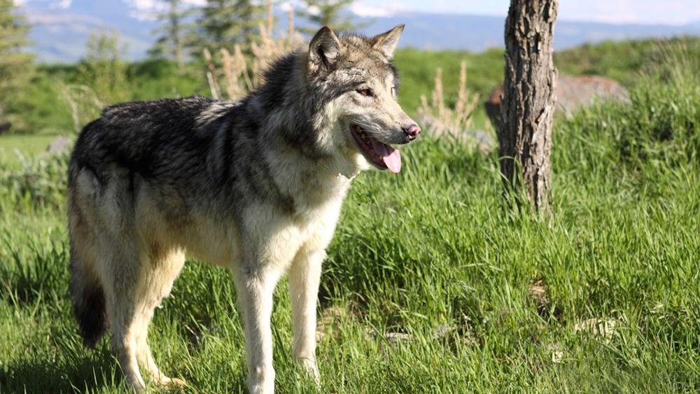 Волкособ - помесь немецкой овчарки и волка.