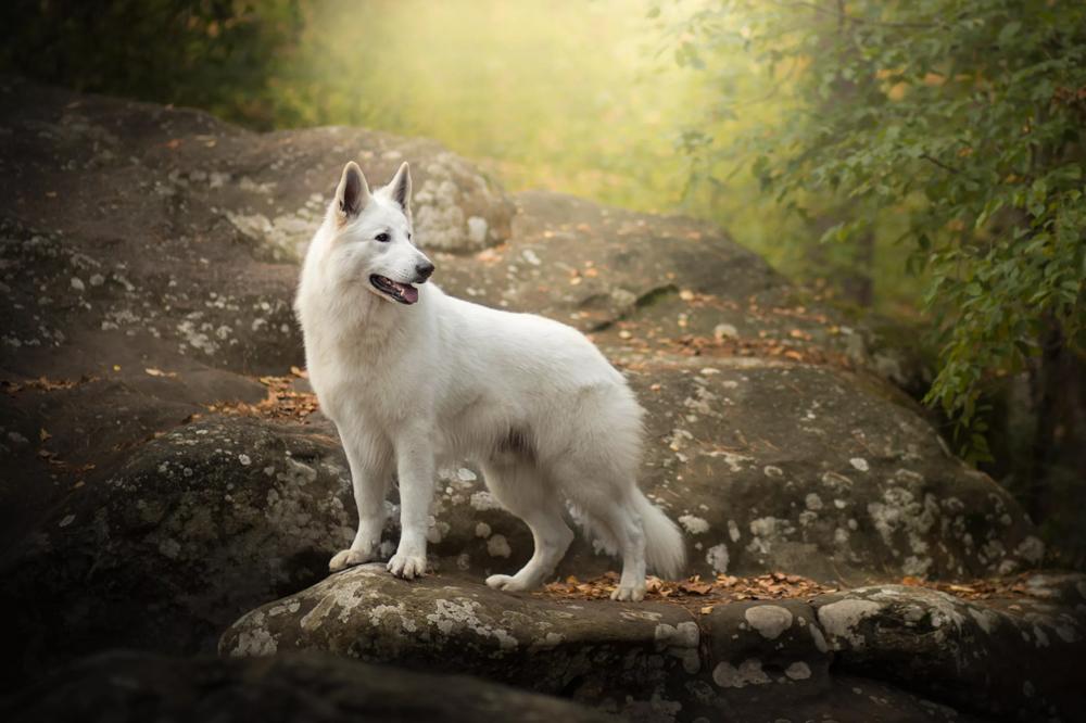 Белая швейцарская овчарка - характеристики породы, стандарт внешности, уход.