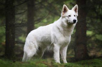 Белая швейцарская овчарка - характеристики, стандарты, уход/