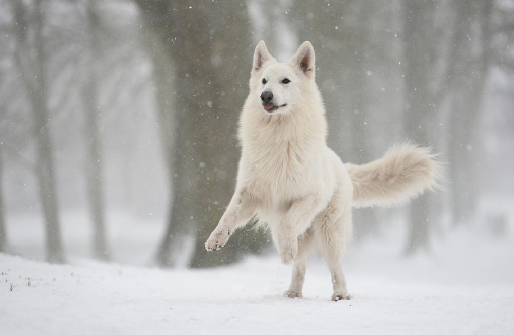 Порода собак Белая швейцарская овчарка.