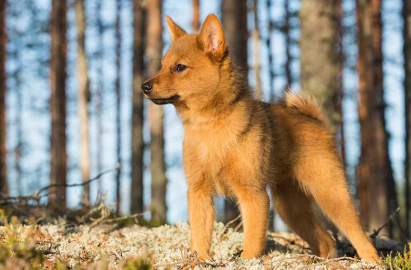 Как назвать щенка карело-финской лайки.