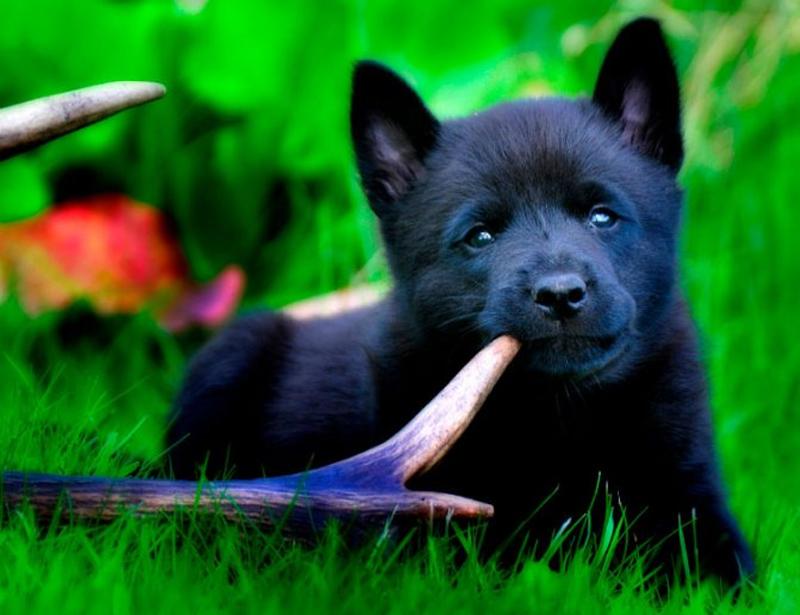Щенок черной норвежской лосиной лайки.