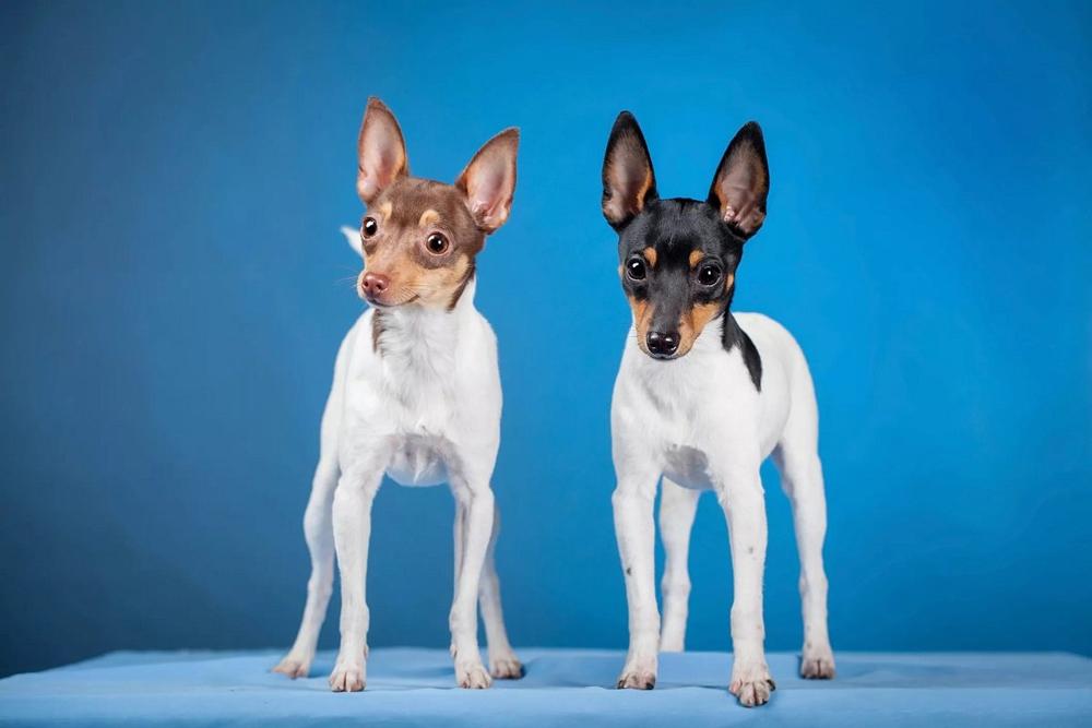 Той-фокстерьер - стандарты, главные качества собак, дрессировка, воспитание