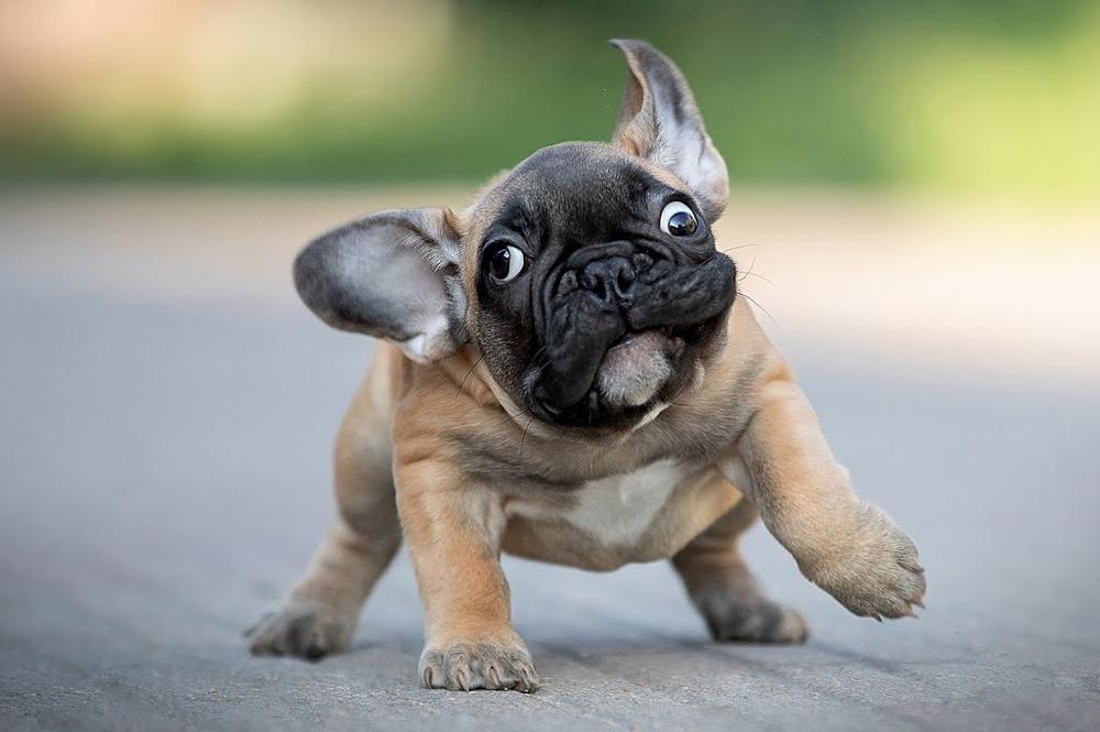 Смешной щенок Французского бульдога