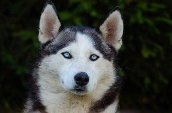 Лайка – собака, порода или термин, виды лаек, окрасы, воспитание.