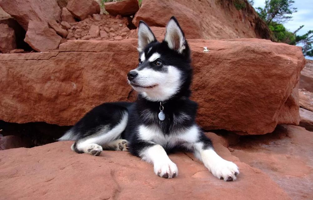 Самые дорогие собаки в России - Аляскинский кли-кай.